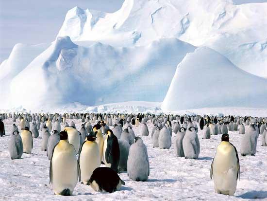 pingüinos emperador en el Mar de Weddell, Antártida