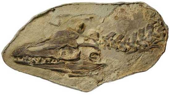 Platecarpus, fósil
