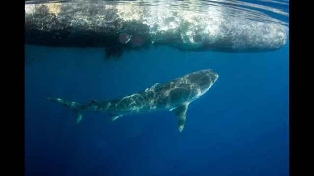 tiburón blanco se alimenta del cadáver de un cachalote
