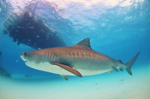 tiburón tigre en la costa de Australia