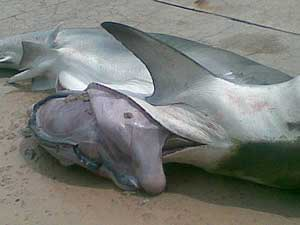 estómago tiburón tigre de las Bahamas
