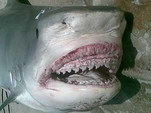 tiburón tigre Bahamas