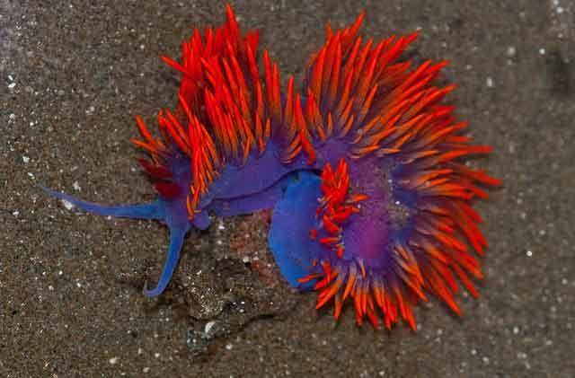 babosa de mar Flabellina iodinea