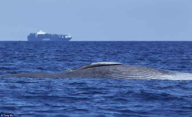 ballena azul y barco