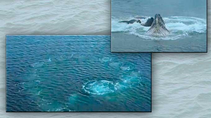 burbujas de aire formadas por las ballenas jorobadas