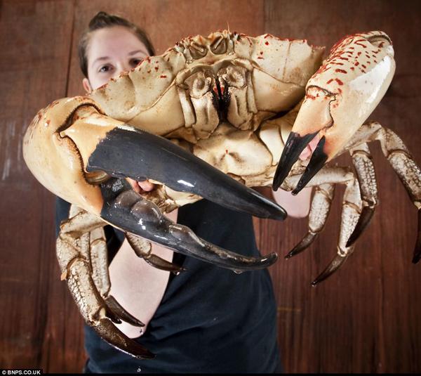 cangrejo gigante de Tasmania en manos de Jemma Battrick