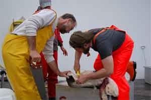 científicos investigan nuevo organo en las ballenas