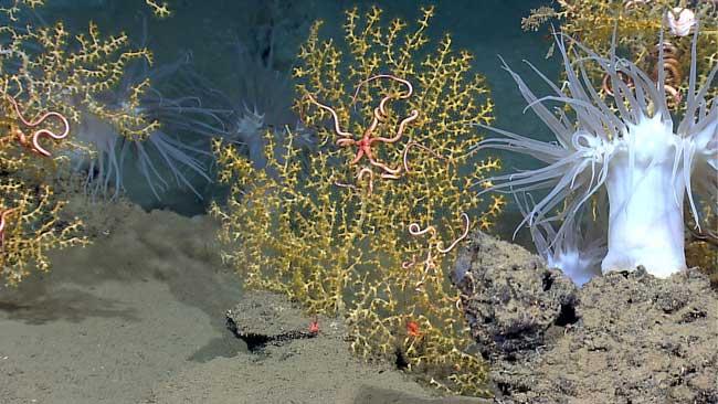 corales y anemonas en el Golfo de México