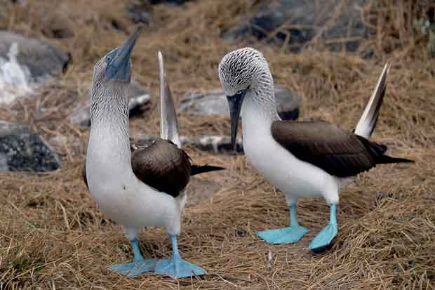 cortejo del piquero de patas azules