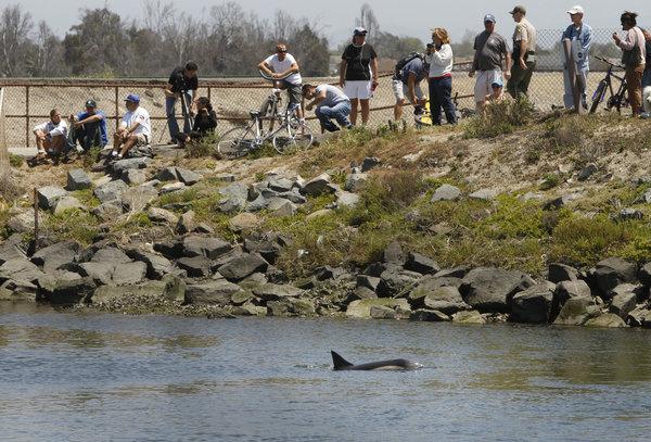 delfín intimidado en Bolsa Chica, California