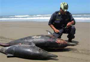 dos delfines varados en Perú