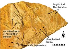 fósil de Ectenosaurus clidastoides