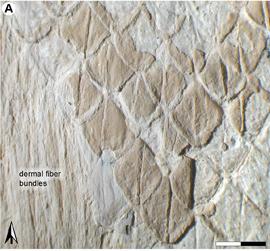 escamas de ectenosaurus