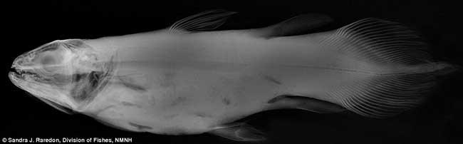 especimen de pez visto por rayos-x