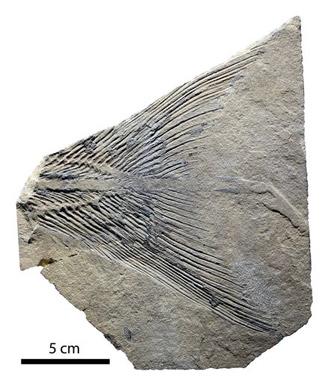 fosil-celacanto-rebellatrix