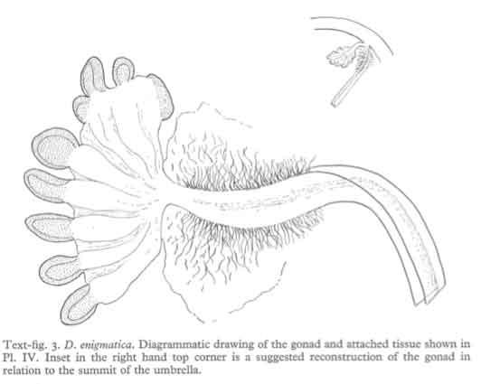 gónadas Deepstaria enigmatica (figura Russell)