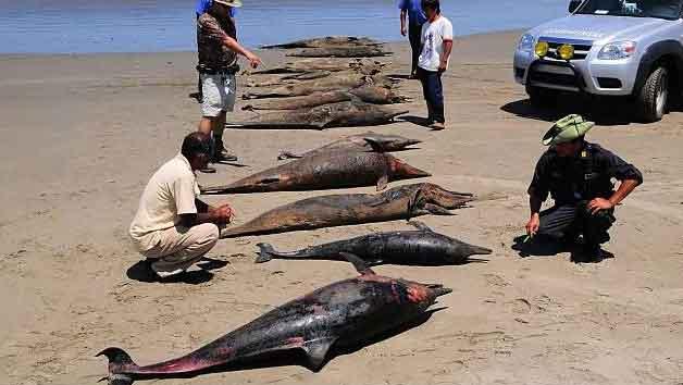 grupo de delfines muertos en Perú