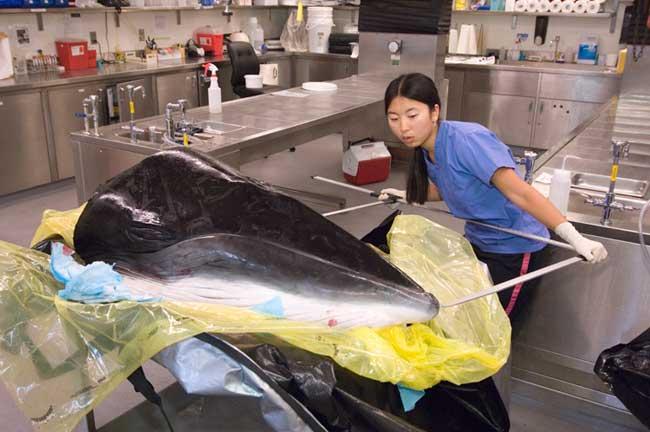 Maya Yamato examina una cabeza de ballena minke