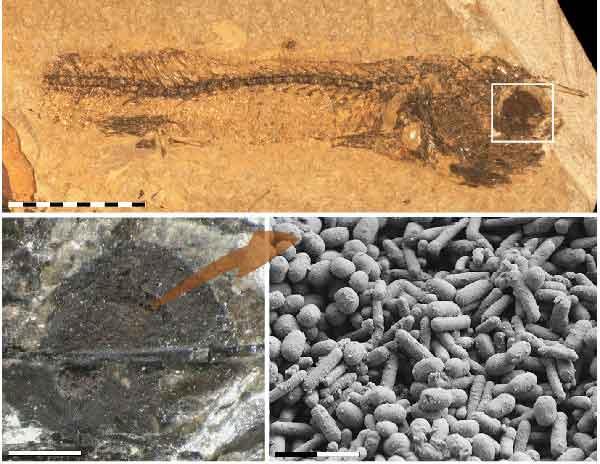 melanina en el ojo de un pez fosilizado