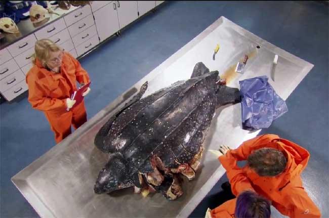 necropsia de una tortuga laud