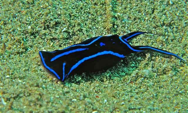 nudibranquio Chelidonura