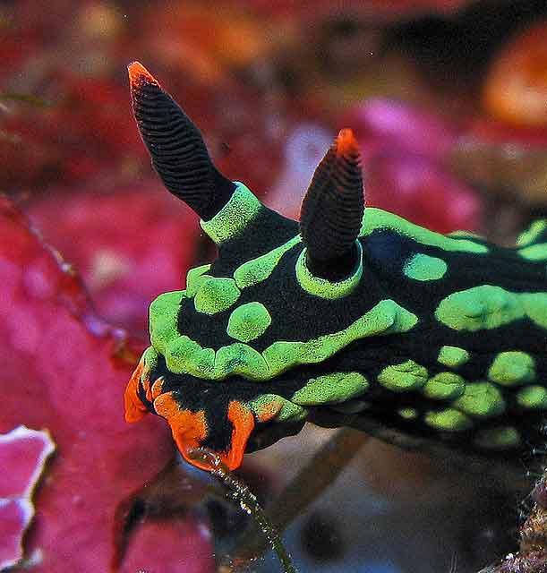 nudibranquio de espectaculares colores Nembrotha kubaryana