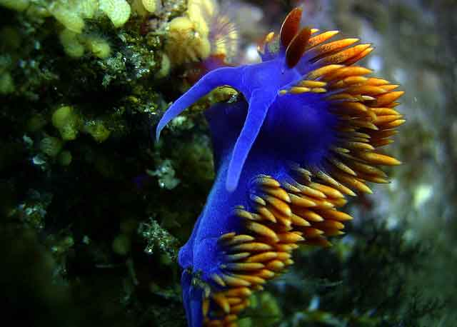 nudibranquio Flabellina iodinea