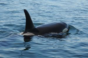 orca flotando en el agua