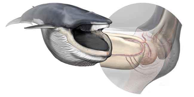 organo sensorial en la boca de la ballena