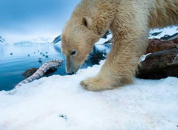 oso polar come un esqueleto de ballena