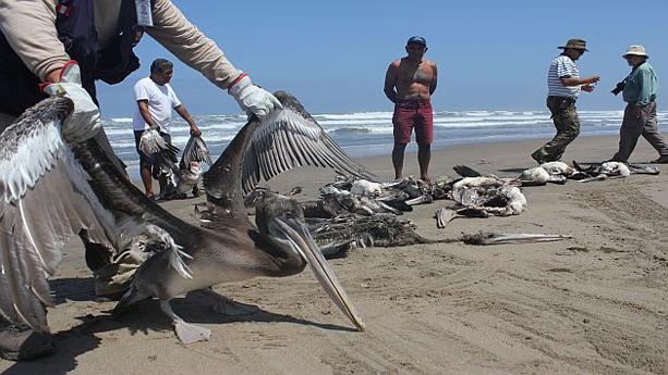 pelícanos muertos en la costa de Perú