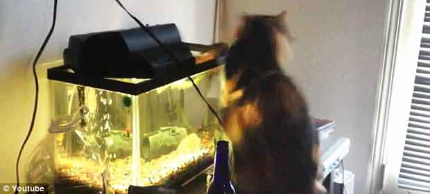 pez ataca a un gato