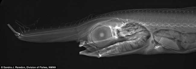 pez unicornio (Eumecichthys fiski)