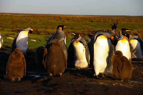 pingüinos rey con sus crías