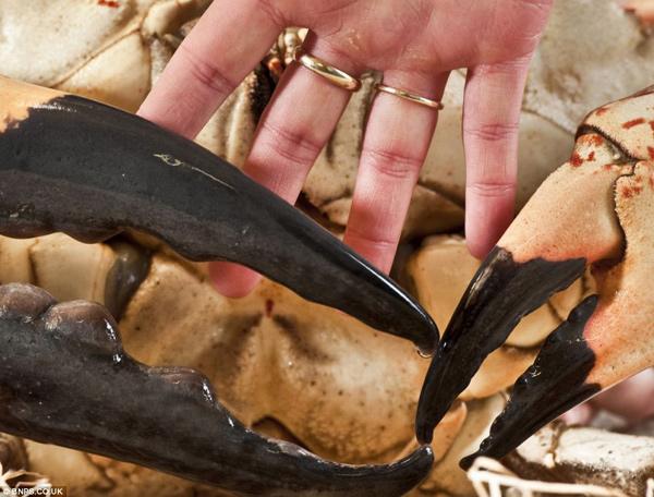 pinzas del cangrejo gigante de Tasmania