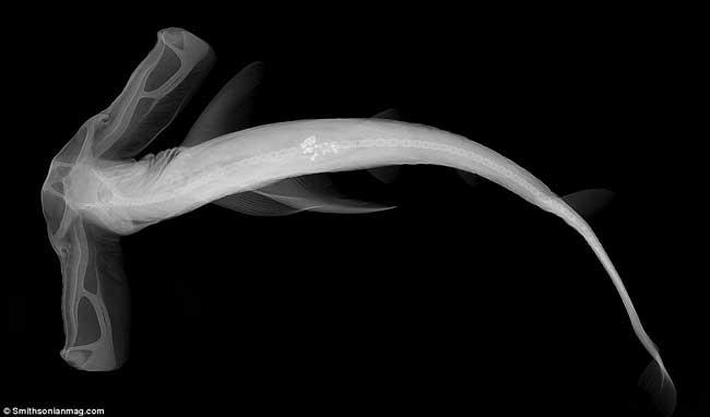 tiburón de Winghead (Eusphyra blochii)