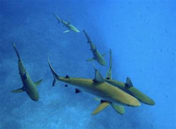 tiburones grises de arrecife (Carcharhinus amlyrhynchos)
