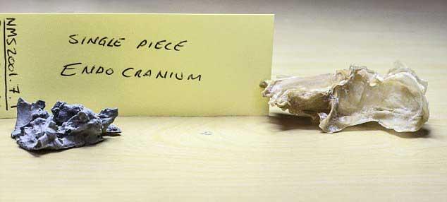moldes de caucho del Acanthodes bronni