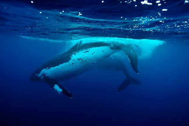 apareamiento de la ballena franca