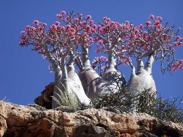 Adenium obesum socotranum o árbol de la botella