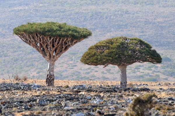 árbol sangre de dragón (Dracaena cinnabari) en Socotra