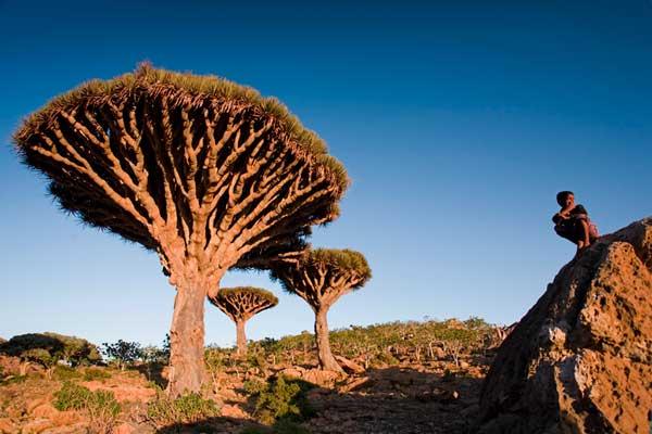 árbol sangre de dragón (Dracaena cinnabari)