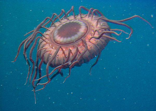 medusa Atolla wyvillei