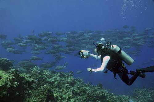 banco de peces loro jorobados gigantes (Bolbometopon muricatum)