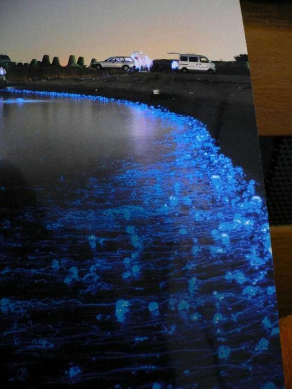 calamares luciérnaga en la bahía de Toyama - Japón