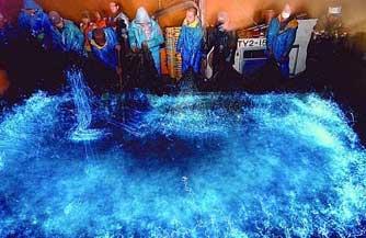 calamares luciérnaga en una lonja de pescado