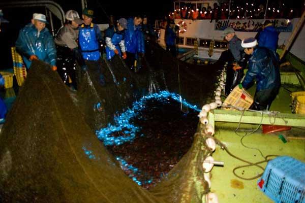 calamares luciérnaga en una red de pesca