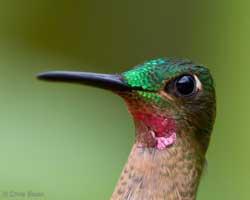 colibri (Heliodoxa gularis)