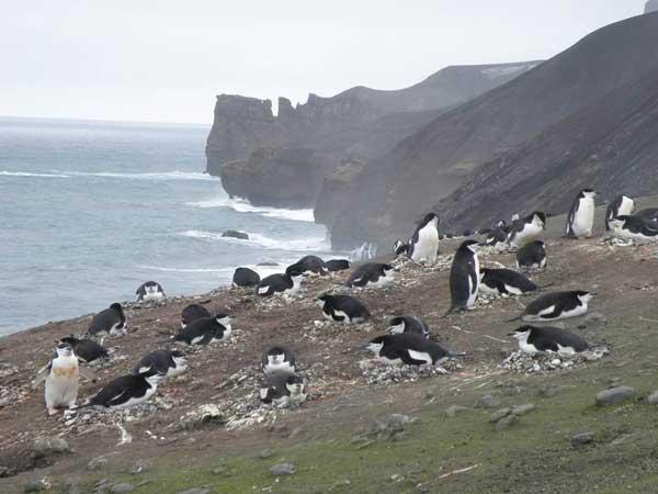 colonia de pingüinos barbijo en Isla Decepción