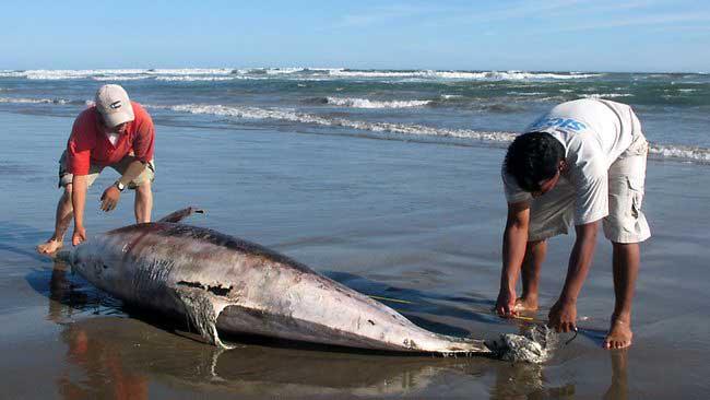 delfín muerto Perú